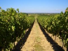 fronton,château,fayet,vin,vigne,aoc,aop,sud,ouest,frontonnais