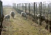 Domaine LE ROC - Moutons.jpg