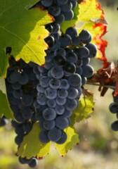 domaine le roc,le roc,vin,vigne,fronton,frontonnais,négrette,cave,bouteille,vente,achat,aoc,aop,sud-ouest
